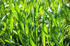Slut upp av gröna grässtrån Arkivfoton