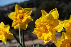 Slut upp av gruppen av ljusa gula vårpåskpåskliljor som blommar utanför i vår Royaltyfri Foto