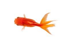 Slut upp av guldfisksimning i fishbowl arkivfoton
