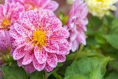 Slut upp av härliga rosa blommor Royaltyfri Fotografi