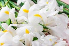 Slut upp av härliga vita Iris Flowers Arkivfoton