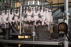 Slut upp av höns som bearbetar i livsmedelsindustri Arkivfoton
