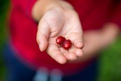 upp av handen som rymmer röda bär Arkivbild