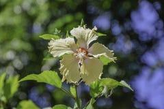 Slut upp av hibiskusblomman royaltyfri bild