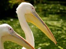 Slut upp av huvud av två pelikan Royaltyfri Bild