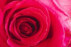 Slut upp av inom av rosa färgrosen Arkivfoton
