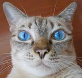 Slut upp av katten för blått öga Royaltyfri Fotografi