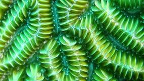 Slut upp av korallen arkivfilmer