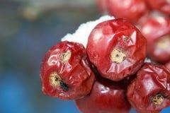 Slut upp av krabbaäpplen Royaltyfri Fotografi