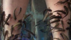 Slut upp av kvinnlig fot i akvarium med den Garra rufafisken stock video