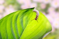 Slut upp av larven arkivfoto