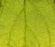Slut upp av leafen Royaltyfri Foto
