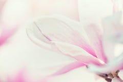 Slut upp av magnoliablomman, blom- bakgrund arkivbilder