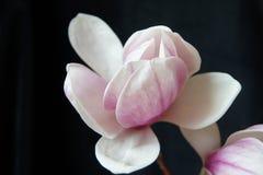 Slut upp av magnolian med svart bakgrund Arkivbilder