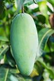 Slut upp av mango Royaltyfria Foton