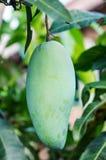Slut upp av mango Fotografering för Bildbyråer