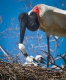 Slut upp av matande fågelungar för Jabiru materiel jpg Royaltyfria Bilder