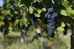 Slut upp av mogna röda druvor som är klara för höstskörd arkivbilder
