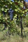 Slut upp av mogna röda druvor som är klara för höstskörd royaltyfri foto