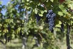 Slut upp av mogna röda druvor som är klara för höstskörd royaltyfri bild