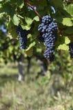Slut upp av mogna röda druvor som är klara för höstskörd royaltyfri fotografi