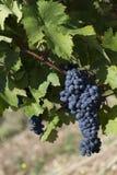 Slut upp av mogna röda druvor som är klara för höstskörd arkivfoto