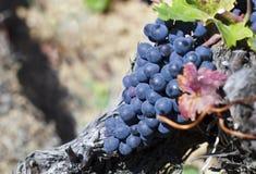 Slut upp av mogna röda druvor som är klara för höstskörd arkivbild