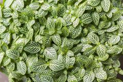 Slut upp av nervväxtFittonia albivenis Arkivfoto