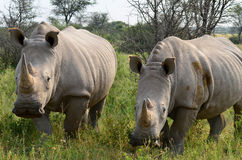 Slut upp av noshörningen i den Khama reserven, Botswana Royaltyfri Foto