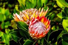 Slut upp av oavkortad blom för Proteablommor längs det Franschhoek passerandet i den västra udden arkivfoto