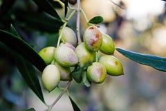 Slut upp av oliv på olivträdet Arkivbild