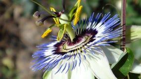 Slut upp av passionblomman (Passiflora Caerulea) Arkivbilder