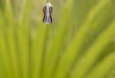 Slut upp av puppan för monarkfjäril Arkivfoto