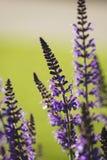 Slut upp av purpurfärgad vis man, salvia Fotografering för Bildbyråer
