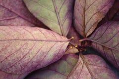 Slut upp av purpurfärgade höstsidor Arkivfoto