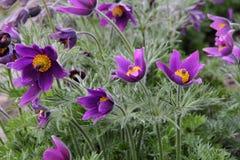 Slut upp av purpurfärgade Pasque Flower (den vulgaris pulsatillaen) Arkivbilder