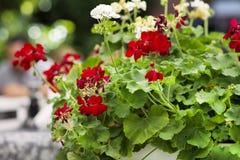 upp av röda blommande pelargonblommor Arkivfoto