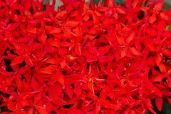 Slut upp av röda Ixora Royaltyfri Bild