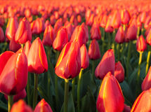 Slut upp av röda orange tulpan Fotografering för Bildbyråer