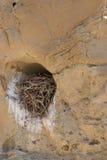 Slut upp av redet för sandstenfågel` s Fotografering för Bildbyråer