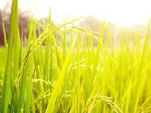 Slut upp av risfältet för gul gräsplan Arkivfoto