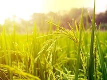 Slut upp av risfältet för gul gräsplan Arkivfoton