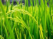 Slut upp av risfältet för gul gräsplan Royaltyfri Foto
