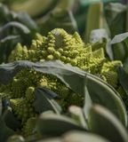 Slut upp av romanescobroccoli arkivfoton