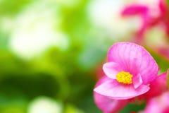 Slut upp av rosa begoniasemperflorens Arkivfoto