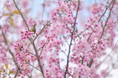 Slut upp av rosa färgblomman: aster med rosa kronblad och gul hjärta för bakgrund eller textur Fotografering för Bildbyråer