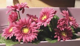 Slut upp av rosa konstgjorda krysantemumblommor Royaltyfri Foto