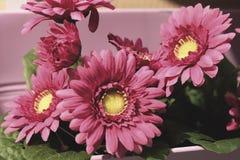 Slut upp av rosa konstgjorda krysantemumblommor Royaltyfria Bilder