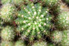 Slut upp av rundakaktusen som täckas med korryggar Arkivfoto