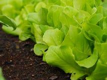 Slut upp av salat med waterdrops Royaltyfria Foton